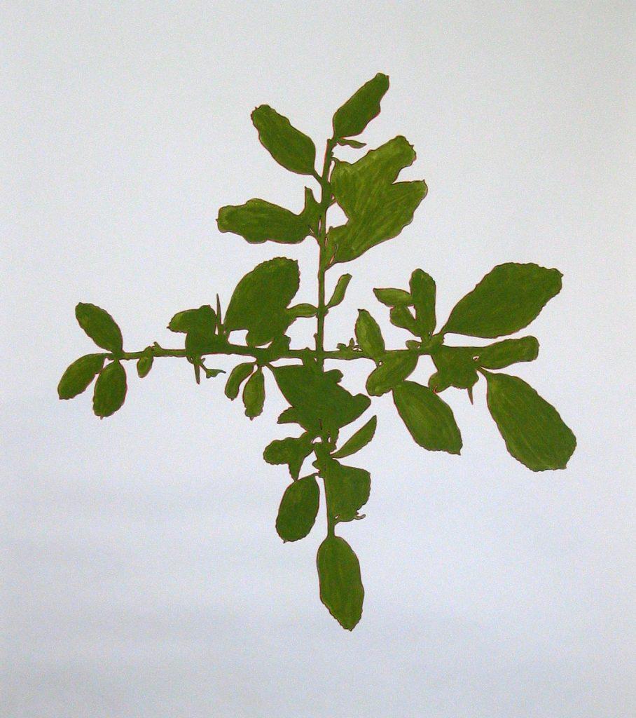 Gemanipuleerde plant. Gouache. 150 x 150 cm